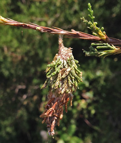A bagworm pupa case hangs from a cedar branch