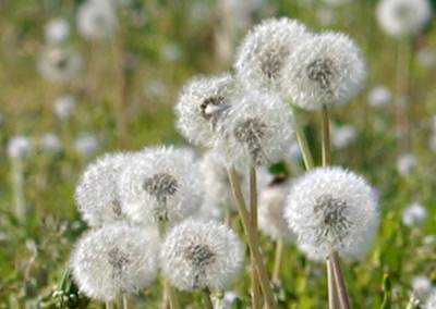 Dandelion seed heads remind me of a mass of exploding fireworks.