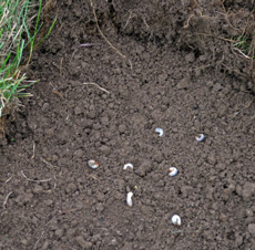 Beetle grubs devour the tender grass roots killing the grass.