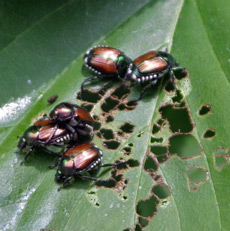 Japanese beetles feed on leaf tissue eventually leaving just the veins.
