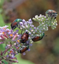 Japanese beetles consume Buddleia flowers