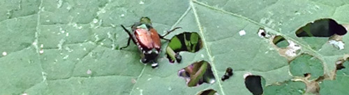 Japanese beetle on a morning glory leaf