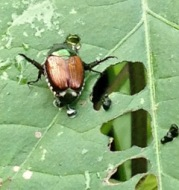 A Japanese beetle chews holes in our morning glory leaves.