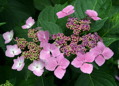 Colorful flowers of lacecap hydrangea