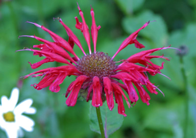 A bright red Monarda bursts into a shower of color!