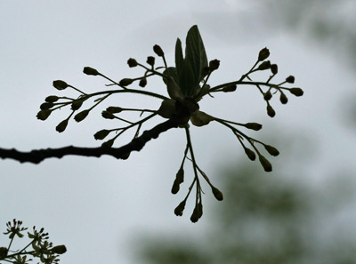 A sassafras flower against a gray spring sky