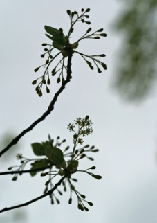 Sassafras flowers against a gray sky