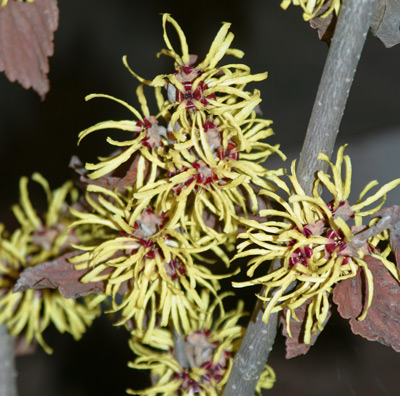 Flowers of witchhazel create a grand finale!