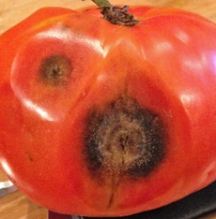 Anthracnose has destroyed half of this tomato