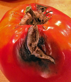 Black mold started growing in the growth cracks of this tomato.