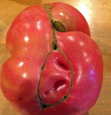 Cat facing on a large heirloom tomato