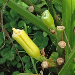 Munched daylily buds. At least there were some flowers that bloomed!