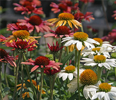 Echinacea (coneflower) are colorful, long-blooming, and deer resistant!