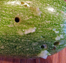 Small entrance holes mark where the pickleworm caterpillar has bored into the fruit.