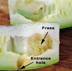 Pickleworm larva feeds on the tender flesh of a zucchini