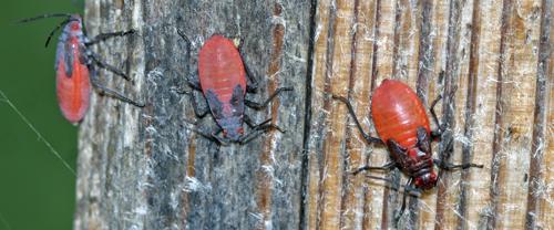 Boxelder bug nymphs