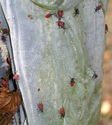 Boxelder bug nymphs swarm over a statue in the garden
