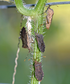 Horned squash bugs, closely related to stink bugs,  swarm on a cucumber vine.