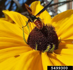 Adult wasp visits a Rudbeckia flower
