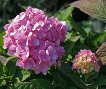 Endless Summer flowers are pink in less acidic soils