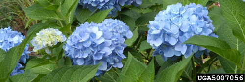 Hydrangea macrophylla is blue when grown in acidic soil