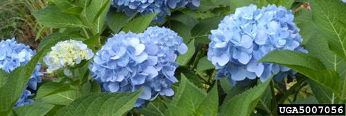 Hydrangea macrophylla is blue when grown in acidic soil