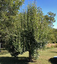 This Kieffer pear was pruned in winter. This resulted in vigorous water sprout growth.