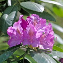 Spring blooming shrubs like rhododendron should be pruned after flowering