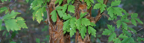 Acer griseum has attractive foliage and interesting bark