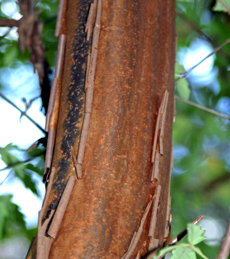 Paperbark maple gets its name from the interesting exfoliating bark.