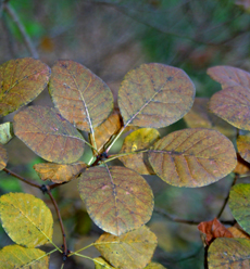 The color has now begun to fade but last week this Cotinus foliage was beautiful