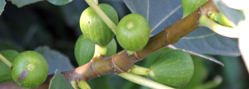 Unripe figs grow along a branch