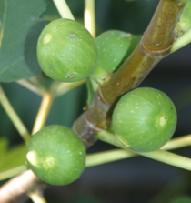 These figs will turn soft and brownish when ripe