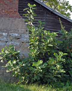 Fig trees are often found around old homes in the south where they were widely planted.