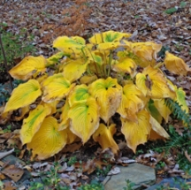This Hosta 'Green Pie Crust' has beautiful fall color. We will definitely divide and share some of these!