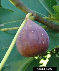 Ripe figs will be soft and will droop on the branches