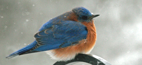 A bluebird fluffs up against the cold