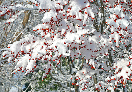 Ilex verticillata in the snow.  Beautiful!