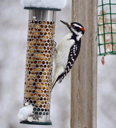 A hairy woodpecker enjoys peanuts from a peanut feeder.