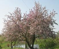 Mature apple tree in full bloom.
