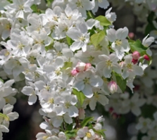 Crabapples produce pollen that is compatible with many apple tree varieties.