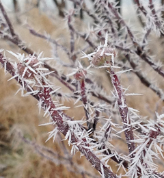 Rime ice covers dogwood branches