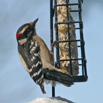 A male downy woodpecker