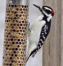 Male hairy woodpecker - black crown, white breast