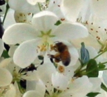 A honey bee visits a crabapple flower
