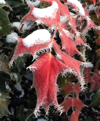 Beautiful mahonia foliage is outlined by crystals of rime ice.