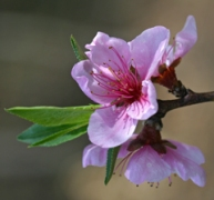 Most peach trees are self-pollinating.