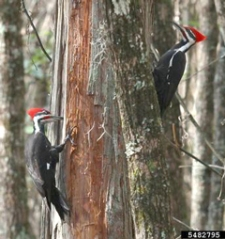 Pileated woodpeckers are striking birds