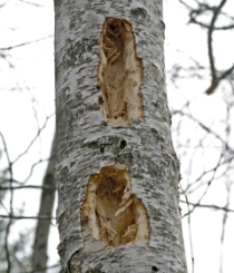 Rectangular holes drilled in a dead tree by a pileated woodpecker