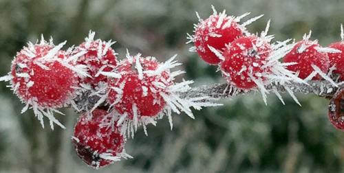 Rime ice settled on winterberry fruit